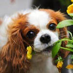 Cavalier Daisy eating the flower