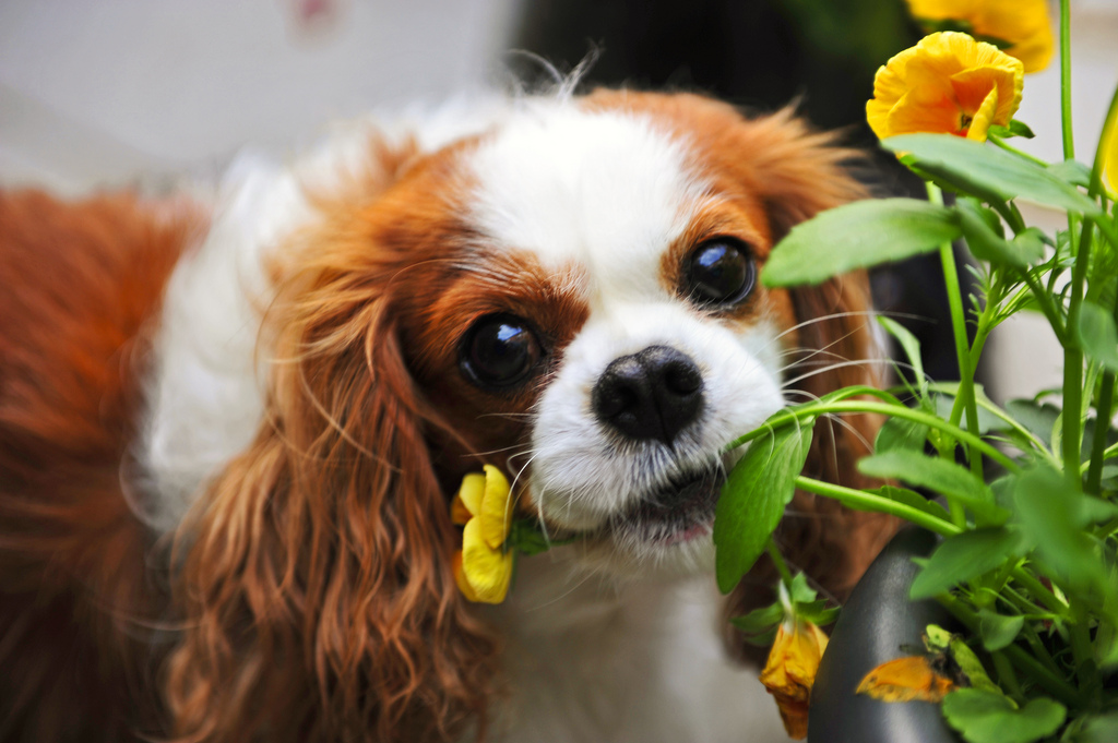 About Cavaliers The Companion Cavalier King Charles Spaniel Club