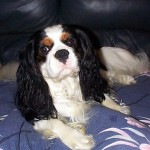 Cavalier volunteered for Cavalier Collection Scheme