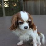 Rescue Cavalier