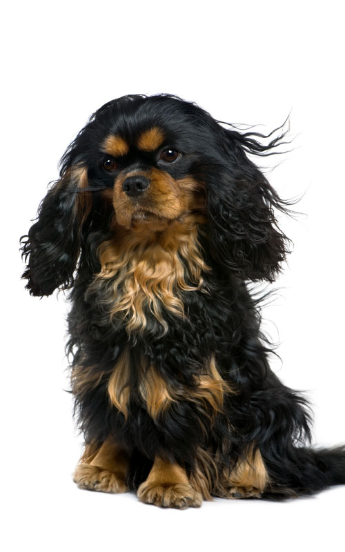 About cavaliers the companion cavalier king charles spaniel club black tan cavalier king charles spaniel thecheapjerseys Images