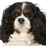 Tri-colour Cavalier King Charles Spaniel