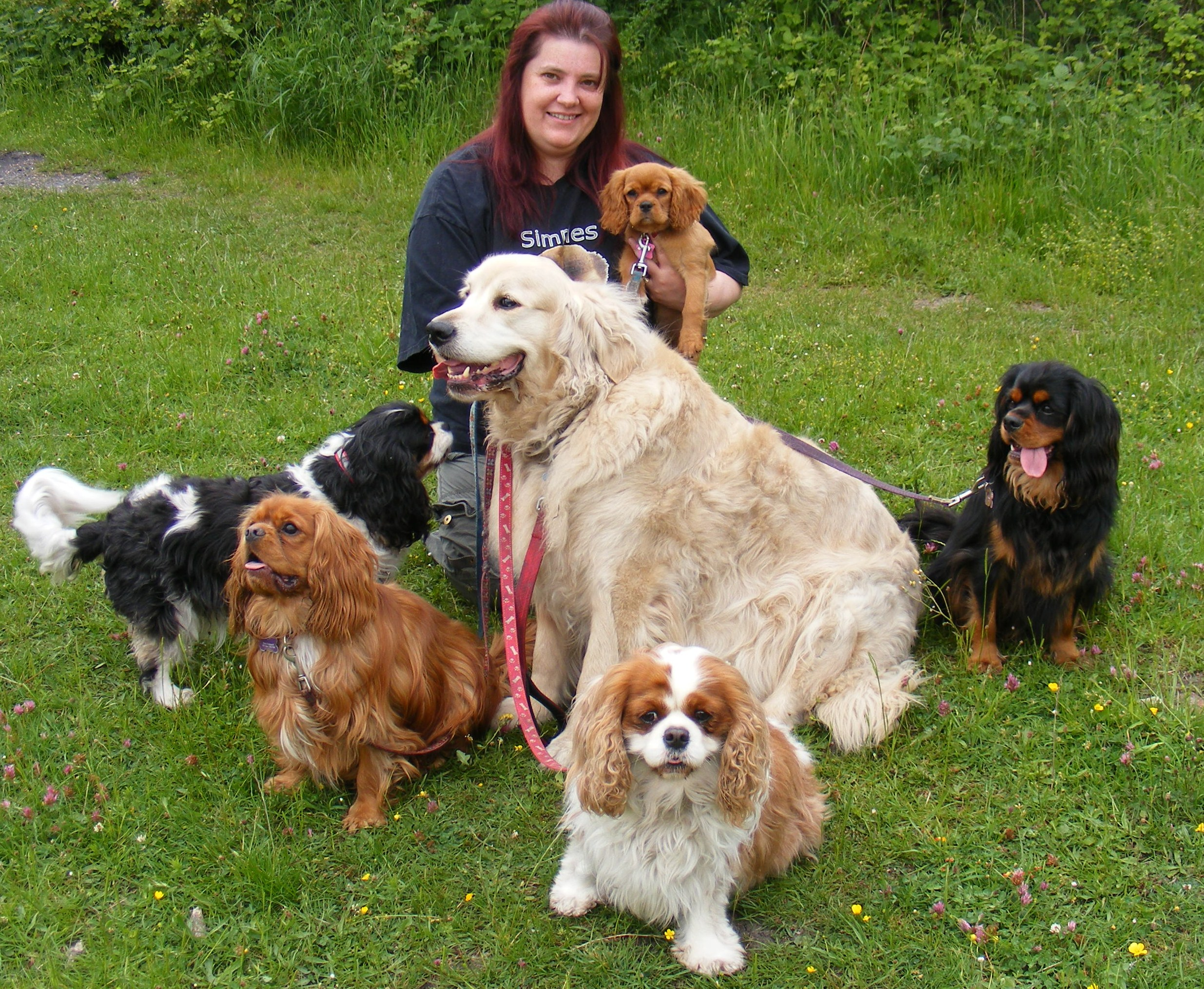 More detail Adult cavalier king charles spaniels for sale variant