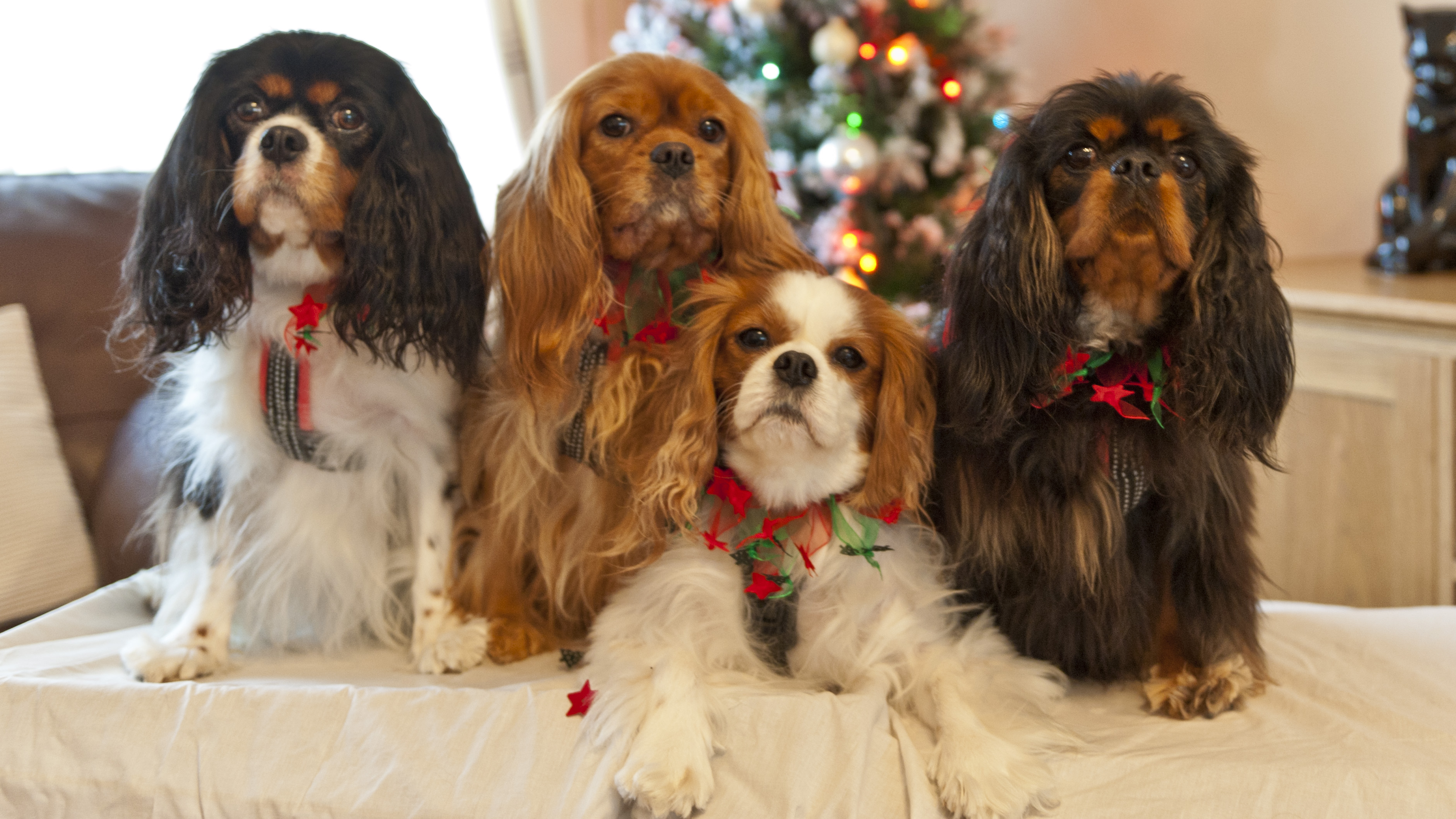 About cavaliers the companion cavalier king charles spaniel club beautiful cavaliers in all four colours nvjuhfo Choice Image