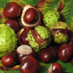 Conkers (Horse Chestnuts)